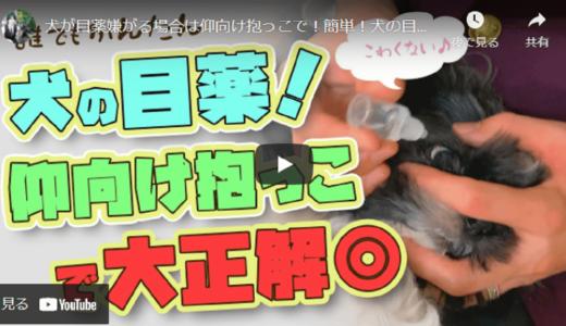 【ドッグトレーナー監修】犬の目薬は簡単!仰向け抱っこで目薬をさす方法【レクチャー動画あり】