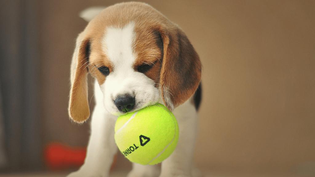 テニスボールを噛んでいるビーグルの子犬