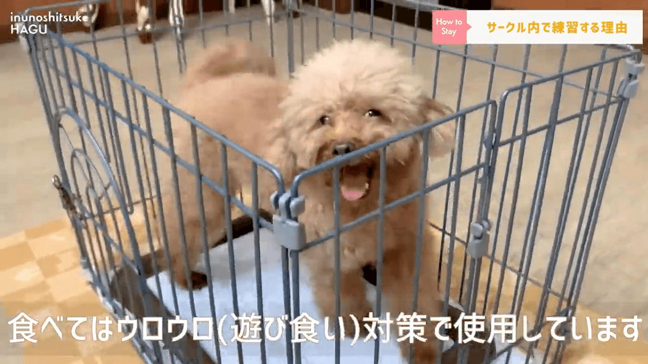 東京都文京区の犬のしつけ教室でケージの中にいるトイプードル