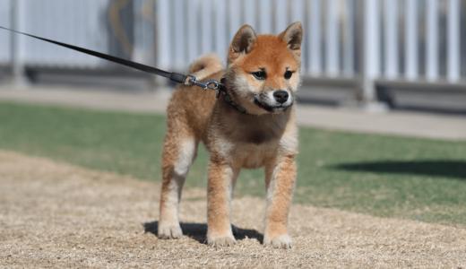 【上級者向け?!】柴犬を飼うのは本当に難しいのか?【ドッグトレーナー解説】特徴と飼い方を解説