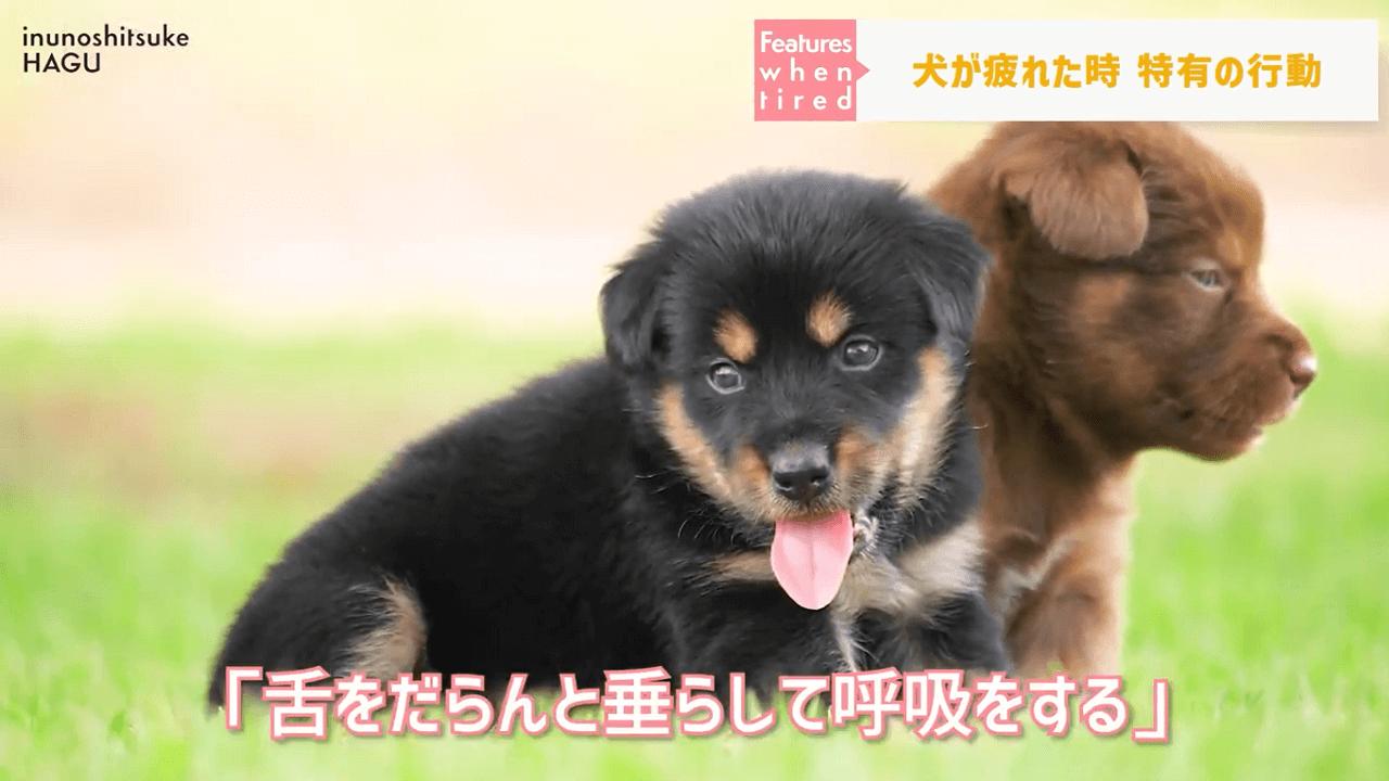 子犬が舌をだしている