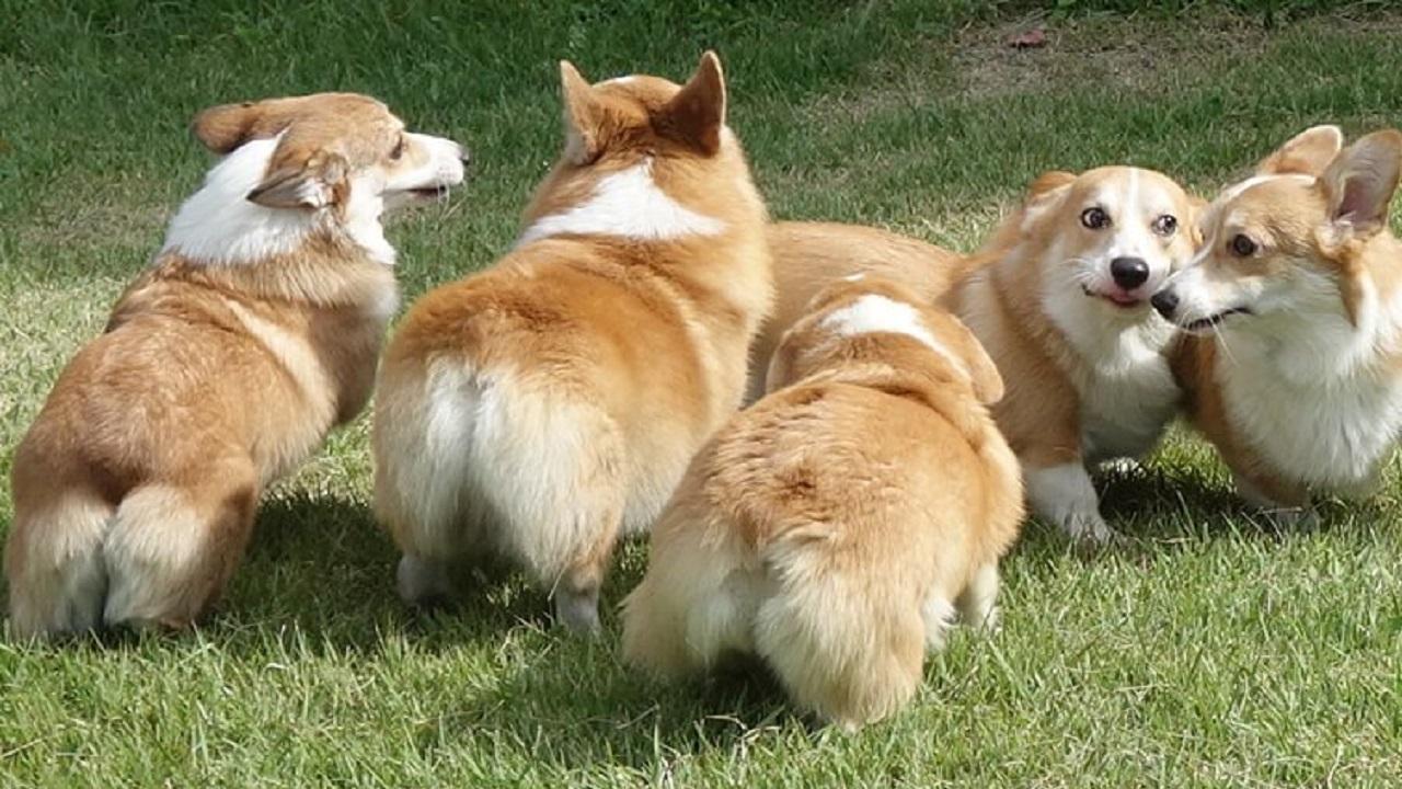 5匹のコーギー達が芝生で遊んでいる