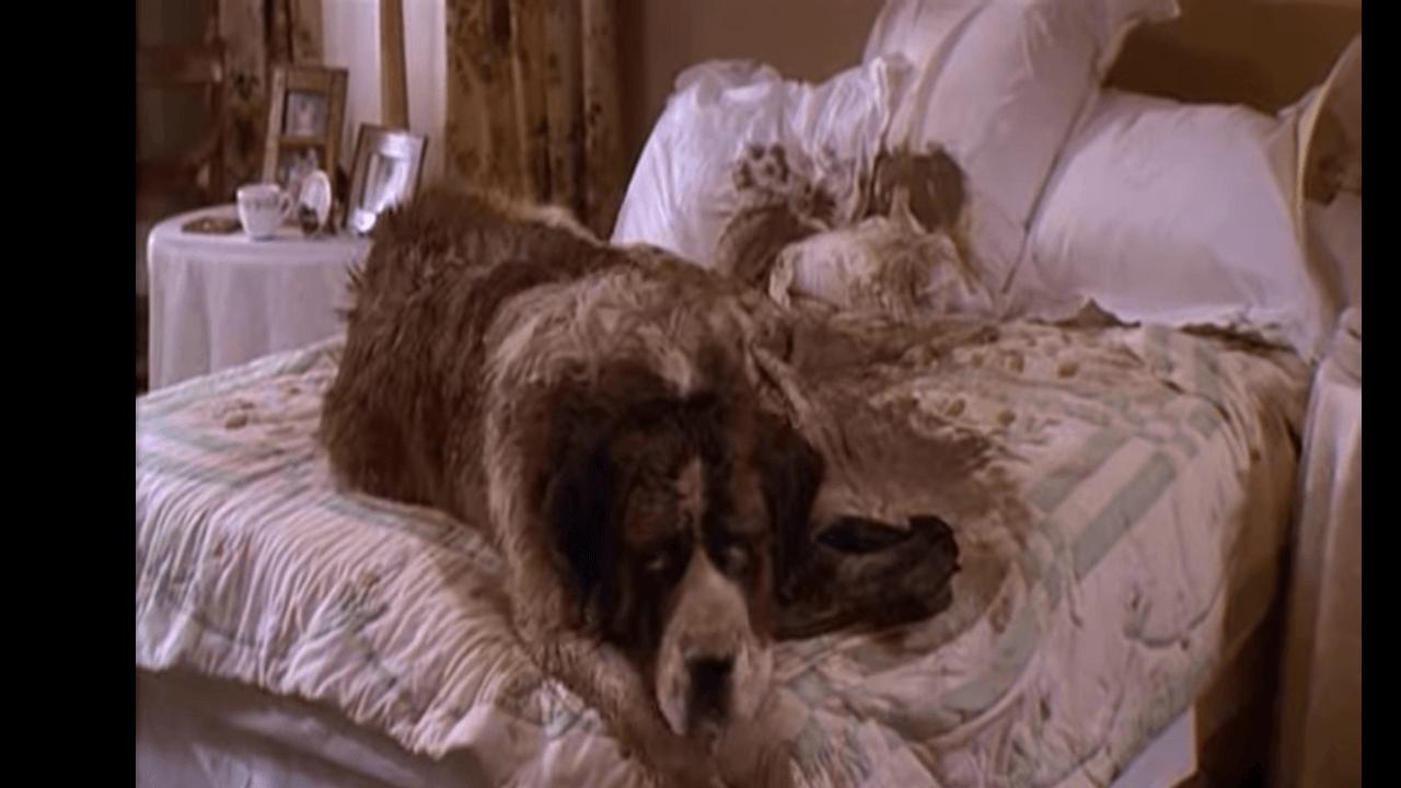 泥だらけでベッドの上に乗りこっちをむいているセントバーナード