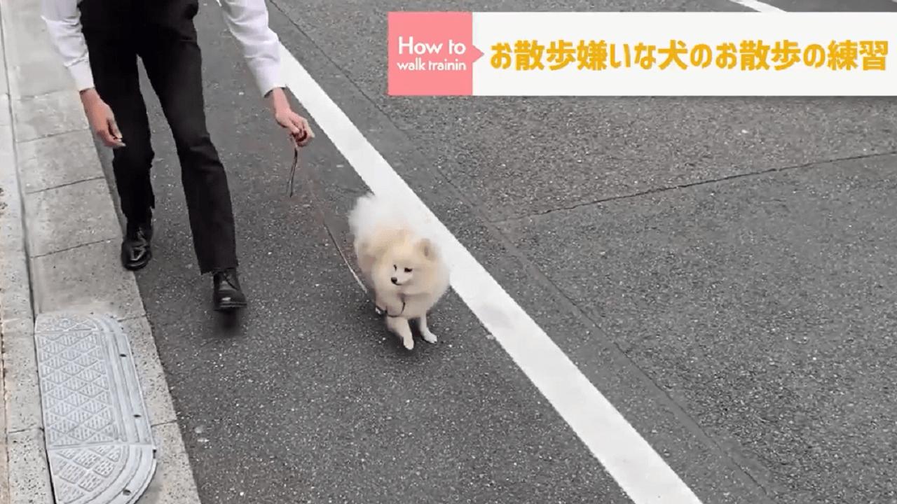 ドッグトレーナーを道路をお散歩する犬