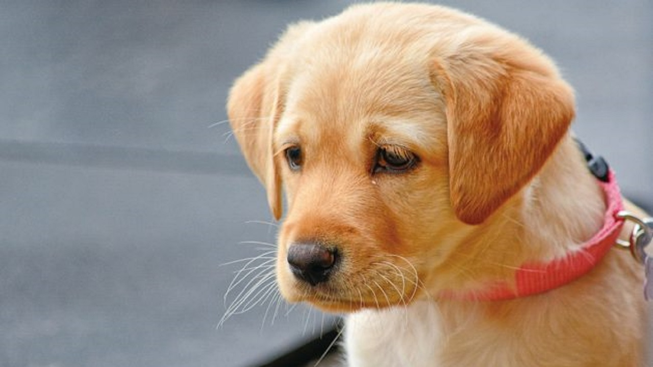 悲しそうな顔をしているラブラドールの子犬