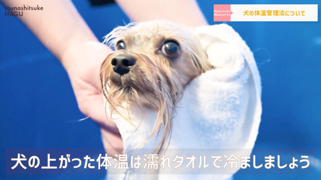 【犬の熱中症対策】愛犬を守れるのはあなただけ!ワンちゃんを熱中症にしない正しい方法教えます!【濡れタオルで拭く】