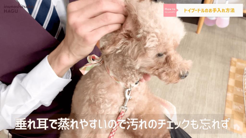 【トイプードル】14分でわかる!「超人気犬トイプードル」の特徴と過ごし方 耳のチェック