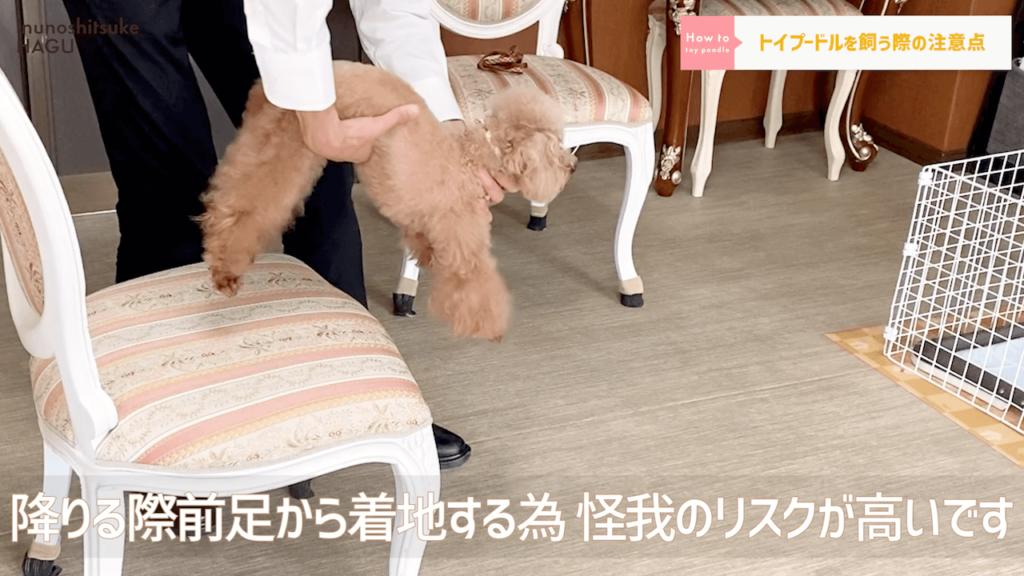 【トイプードル】14分でわかる!「超人気犬トイプードル」の特徴と過ごし方 怪我のリスク